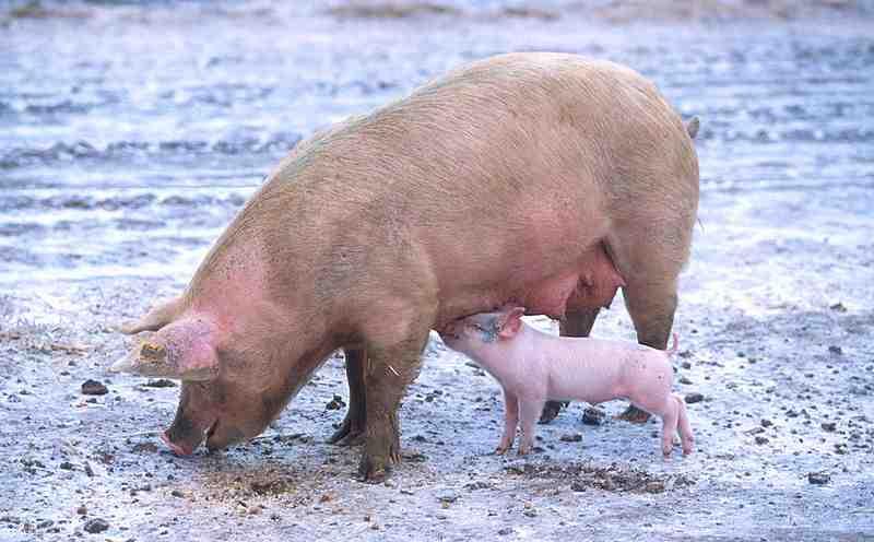Qu'en est-il vraiment de la grippe porcine, alias grippe A, alias grippe mexicaine?
